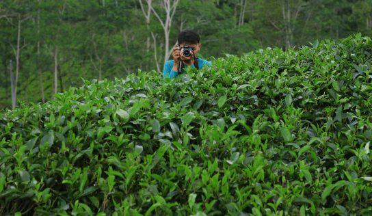 Pesona Kebun Teh Desa Wisata Nglinggo Yogyakarta